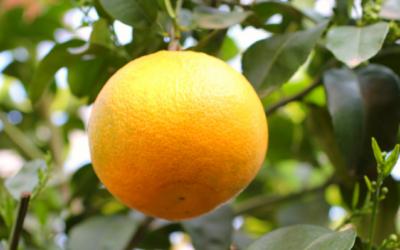Grapefruit | frisch, fröhlich & frei von Cellulite